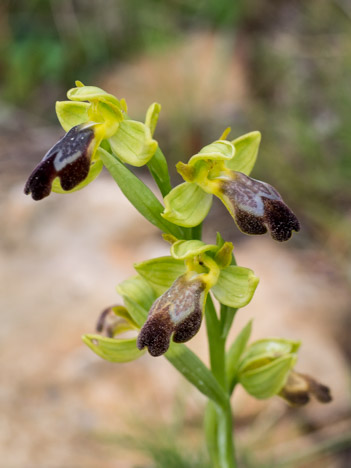 Ophrys des Lupercales